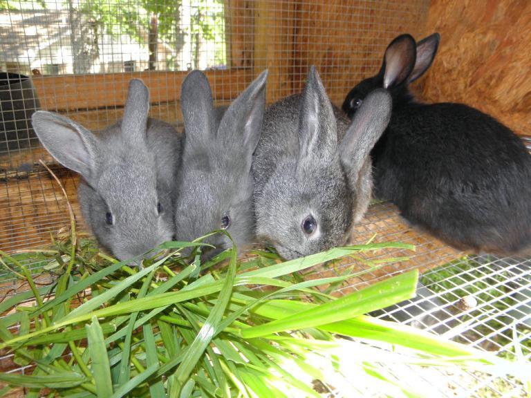 American Blue Rabbits