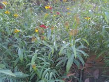 Texas Tarragon- and sweet herb with beautiful yellow flowers.