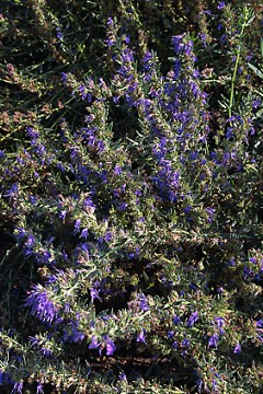 Hyssop- An Ancient Herb With BenefitsToday