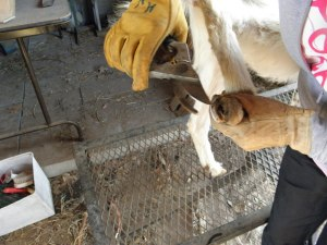 Clipping the goats hooves.