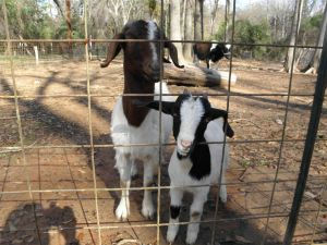 Kandi our fist goat and her baby, Kit Kat.