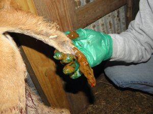IInjured Tail on a calf