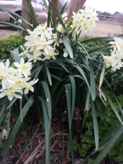 Beautiful Paperwhites on January 29th.
