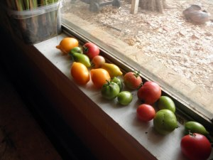 The last of the tomatoes ripening on the window sill.