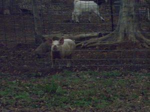 Effie the pig 2