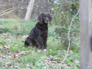Duckie, our Boykin Spaniel, sitting by the Sweet Olive.
