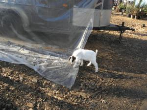 Goat kid and the trailer