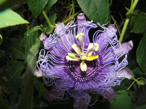 Passion Flower makes a wonderful tea that can really calm the nerves.