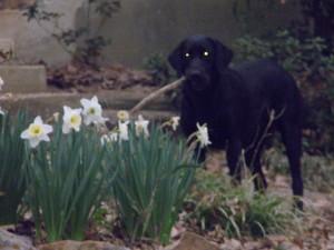 Farm dog- Eowyn and the daffodils