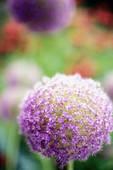 garlic bloom