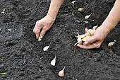 garlic planting