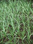 garlic young plant