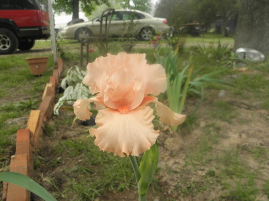 pink parosol iris