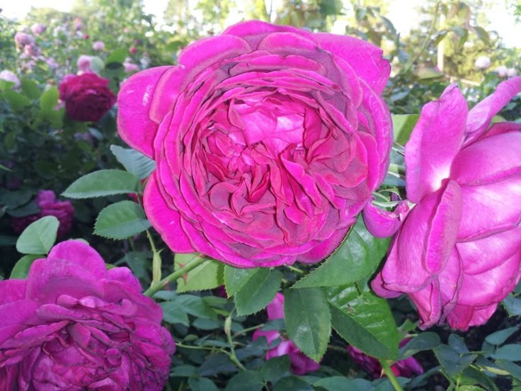 One of the many wonderful roses I smelled. The Dark Lady Rose