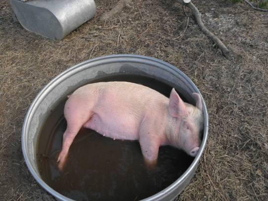Effie the pig
