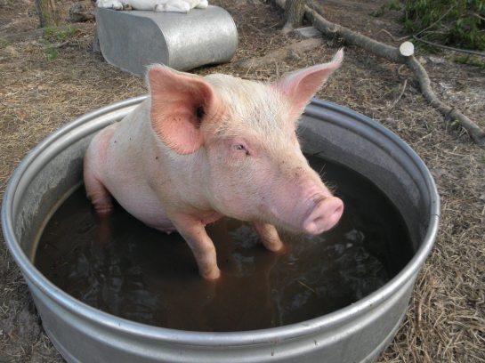 Pig in the Tub