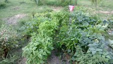 herbs and vegetable patch