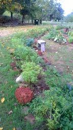 lemon verbena in the herb garden