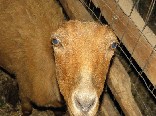 la mancha dairy goat