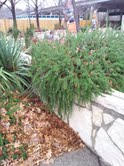 trailing rosemary