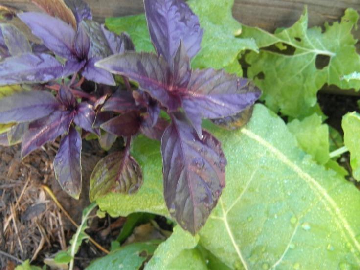 purple basil and kale