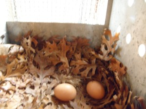 Two beautiful eggs in the coop this morning.  Laid by the black and white hens- Dominiques