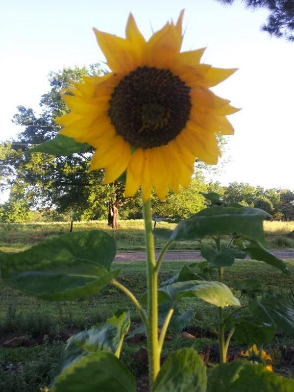sunflower herb