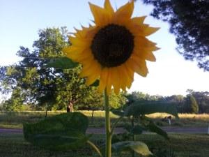 sunflower herb 2