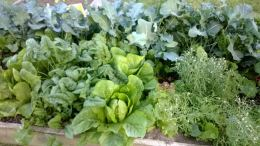 Lettuce Get Planting!  How To Grow Lettuce InTexas