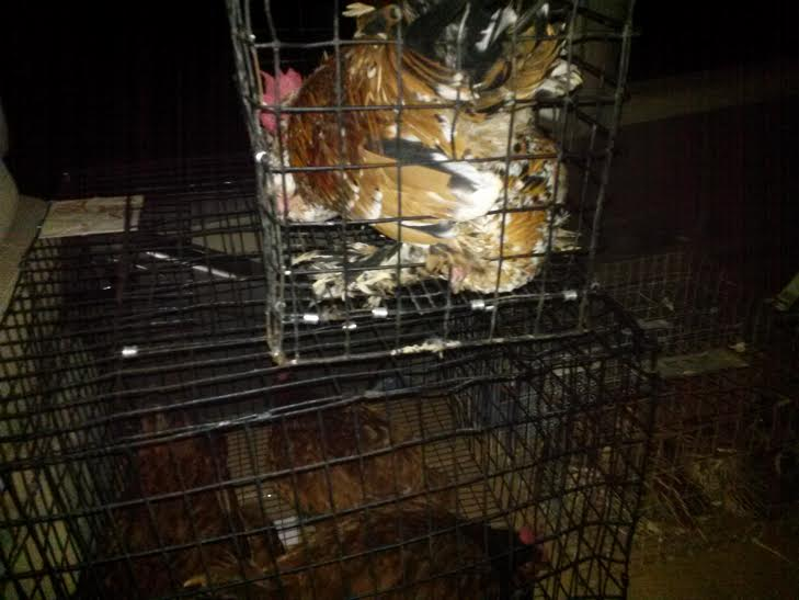 chickens on the ride home