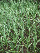 bright- green- leaves -of -the- young -garlic- plants
