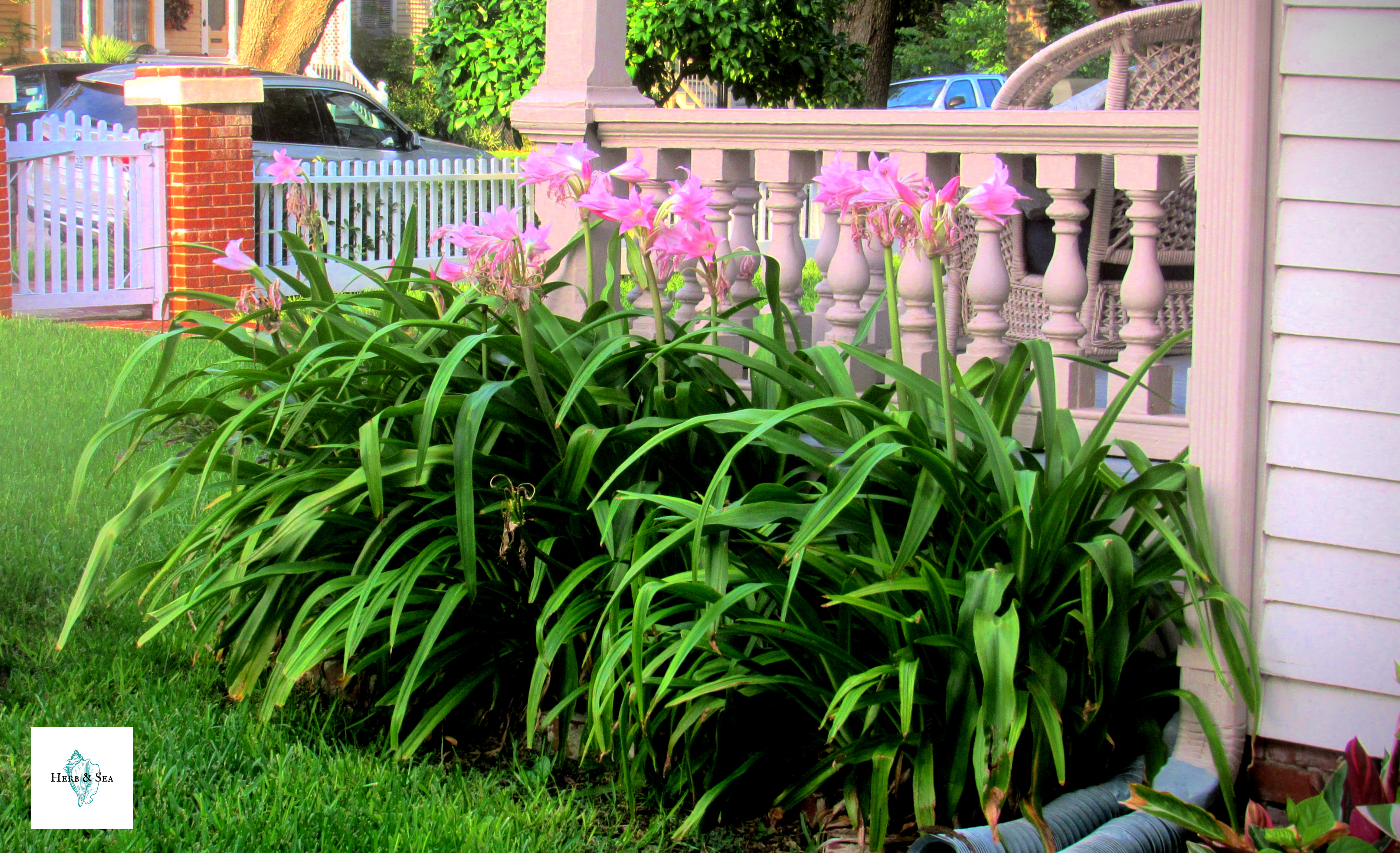Gorgeous- pink- crinums- in -Galveston- Texas- in- front- of- a -beautiful -front -porch -