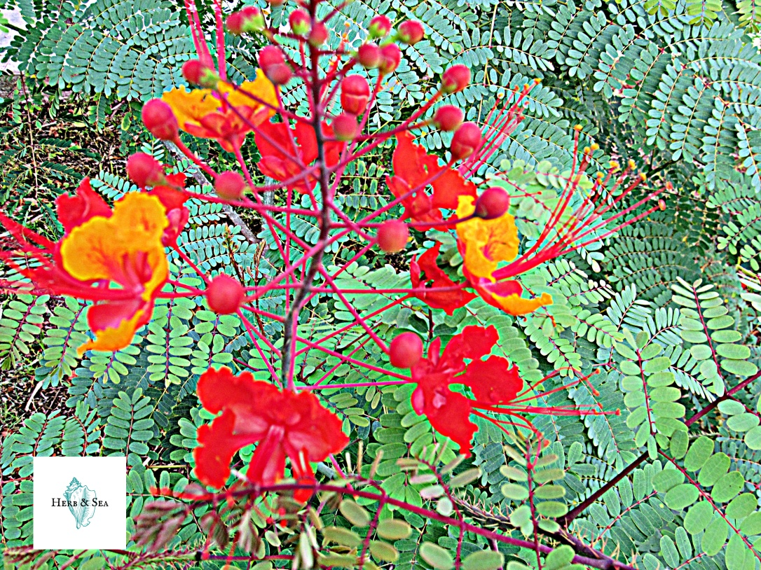 Pride of Barbados Blooms