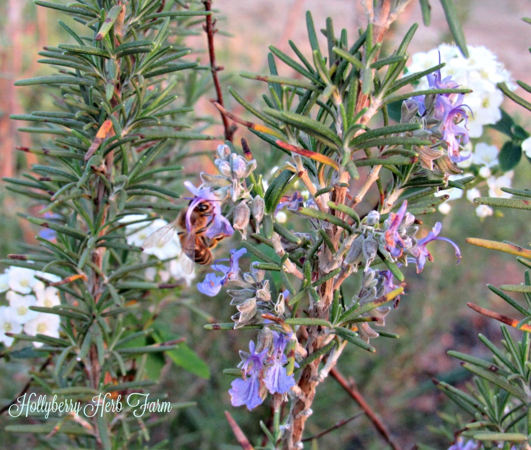 Bee on the Rosemary Bloom herb