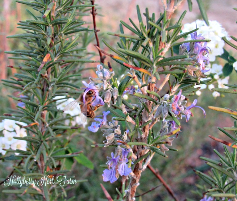 honey-bee-on-the-rosemary-plant-in-the -setting-sun