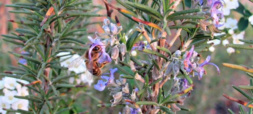 5 Reasons Rosemary Should Grow In Your Garden