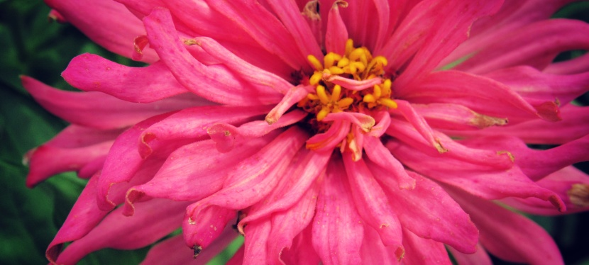 Beauty in a Pink Zinnia