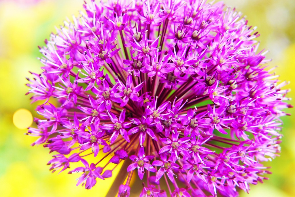 a-beautiful-garlic-bloom